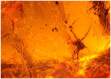 En c:a 40 milj år gammal spindel från Falsterbonäset.